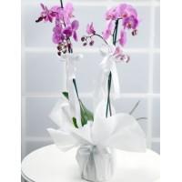 Pembe Orkide Çift Dal