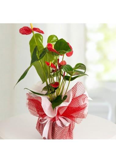 Kırmızı Anthurium