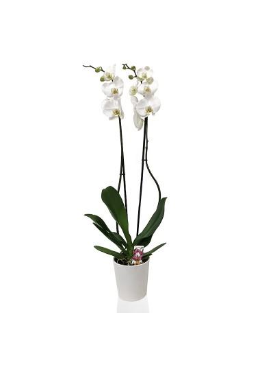 Orkide Küp
