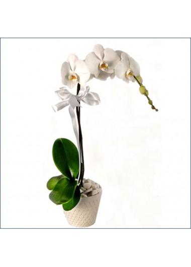 Orkide Tek Dal