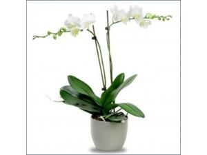 Orkide Beyaz Çift Dal